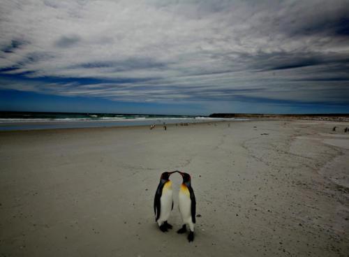 Kongepingviner på Falklandsøyene (2006)
